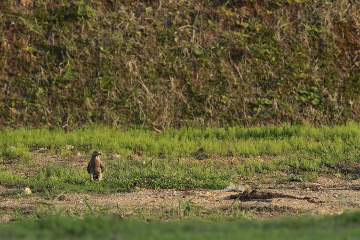 一番大好きな鳥【ノジコ・クロツグミ・サシバ】_b0113228_12174231.jpg