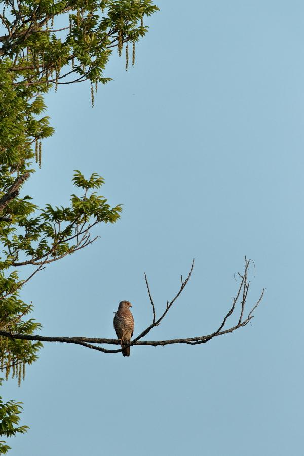 一番大好きな鳥【ノジコ・クロツグミ・サシバ】_b0113228_12175194.jpg