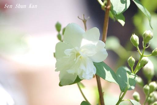 白い花_a0164068_21494570.jpg