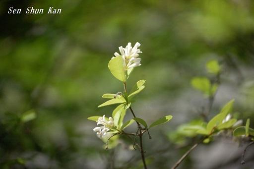 白い花_a0164068_21501525.jpg