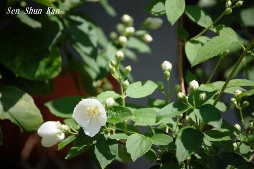 白い花_a0164068_21545055.jpg