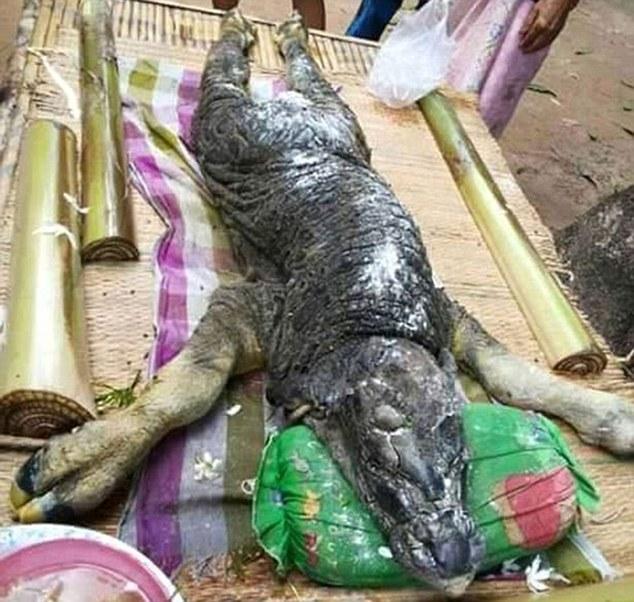 キメラ生物「ワニ+水牛」がタイで生まれる!:かなり精度が上がってきたナ!?_a0348309_22244140.jpg