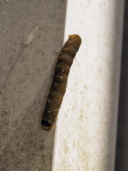 キバラモクメキリガ 幼虫_c0116915_2220388.jpg