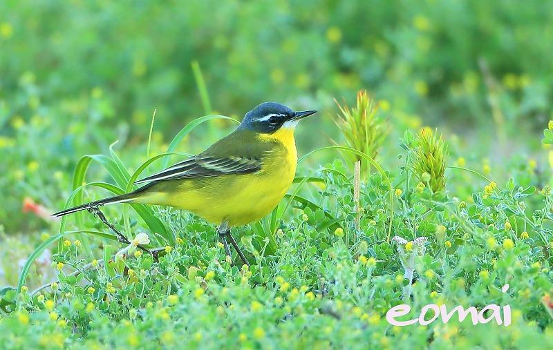 見島の野鳥 2016_d0074828_23115223.jpg