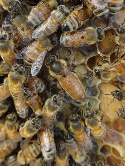 高田馬場のミツバチたち、続報_d0155439_15562292.jpg