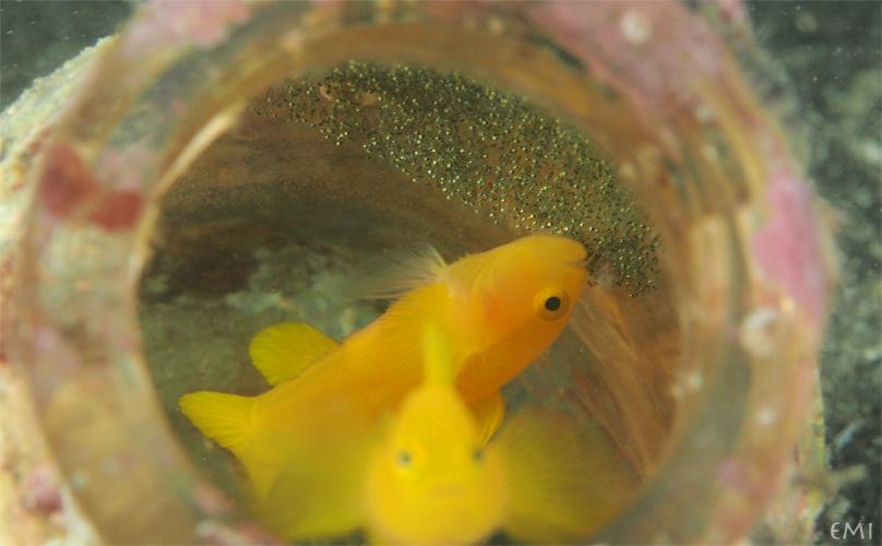 ミジンベニハゼの稚魚放出☆日高_e0158261_5255245.jpg