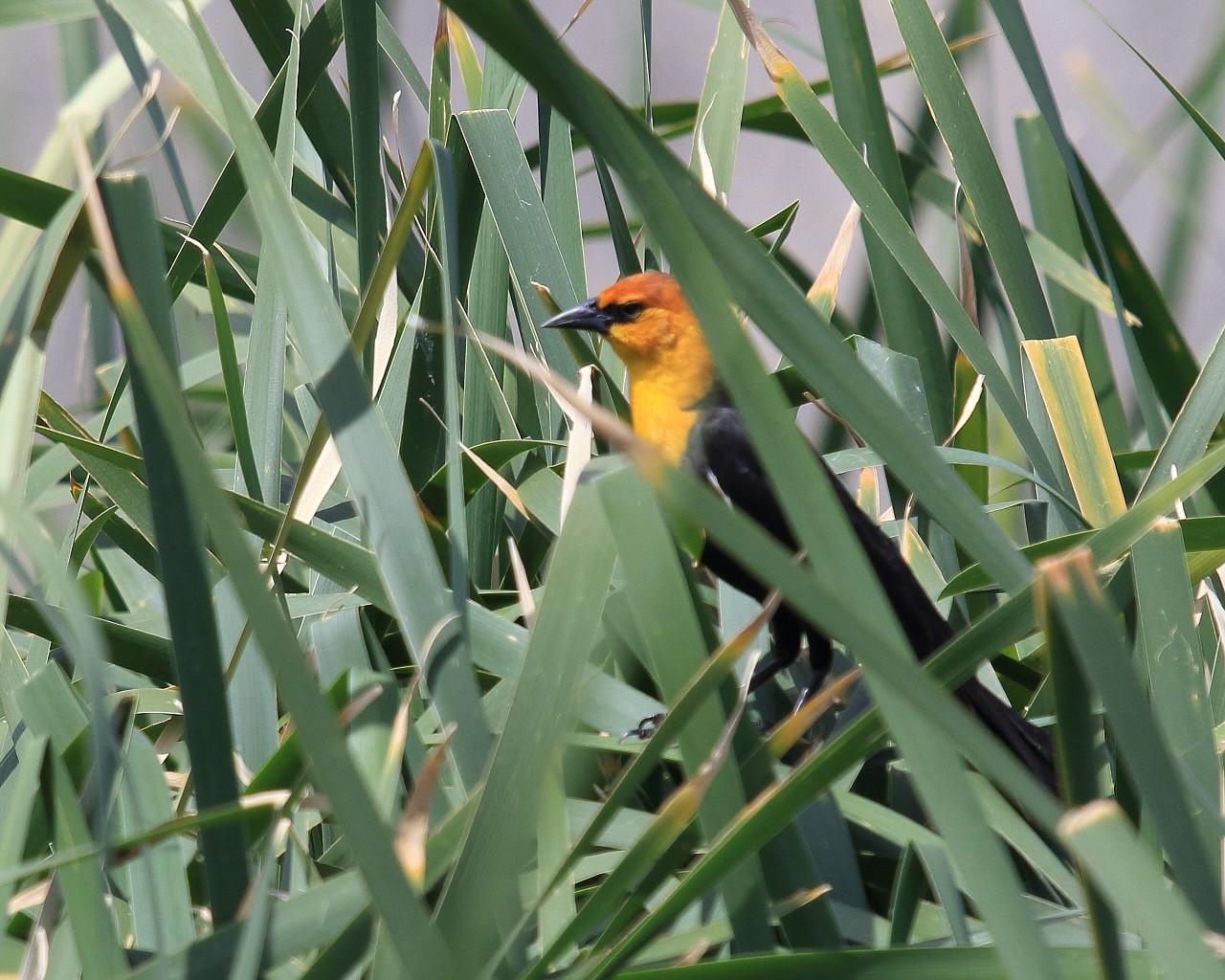 ネヴァダ州の鳥その6: 意外と手強かったYellow-headed blackbird_f0105570_21492024.jpg