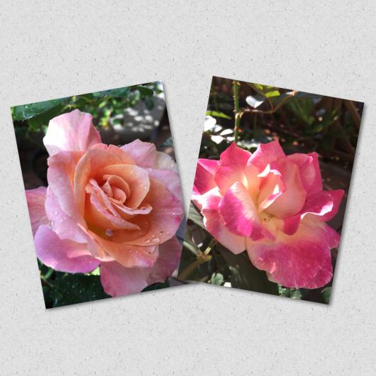またまた、薔薇日記_a0333073_07354915.jpg