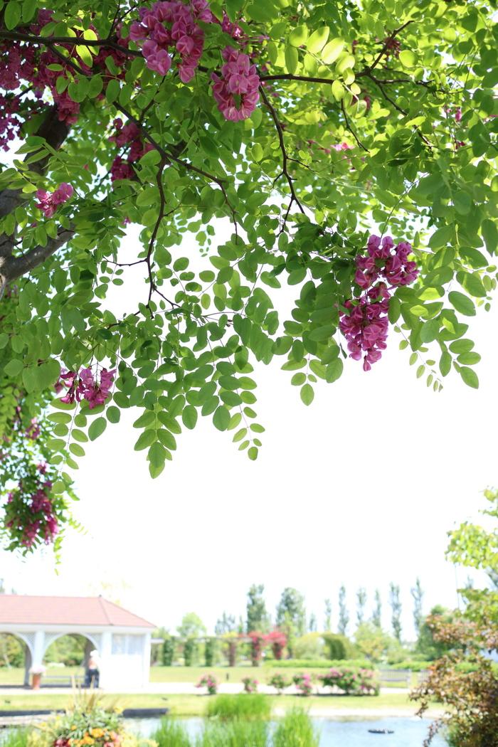 マロニエの花_e0169421_2264752.jpg