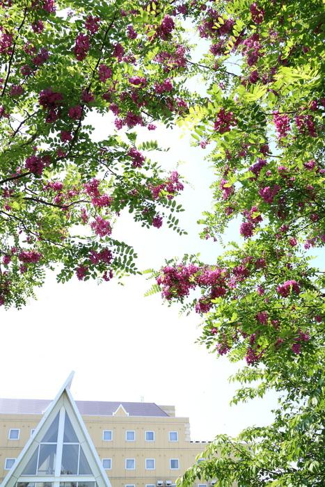 マロニエの花_e0169421_2264969.jpg