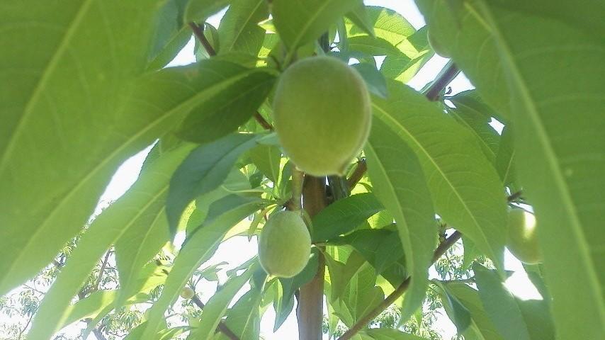 桃の生育状況です_f0325525_12182983.jpg