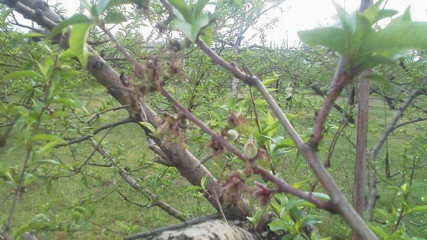 桃の生育状況です_f0325525_12200906.jpg