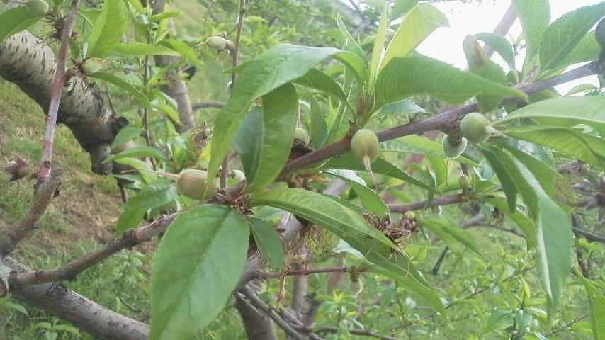 桃の生育状況です_f0325525_12201261.jpg