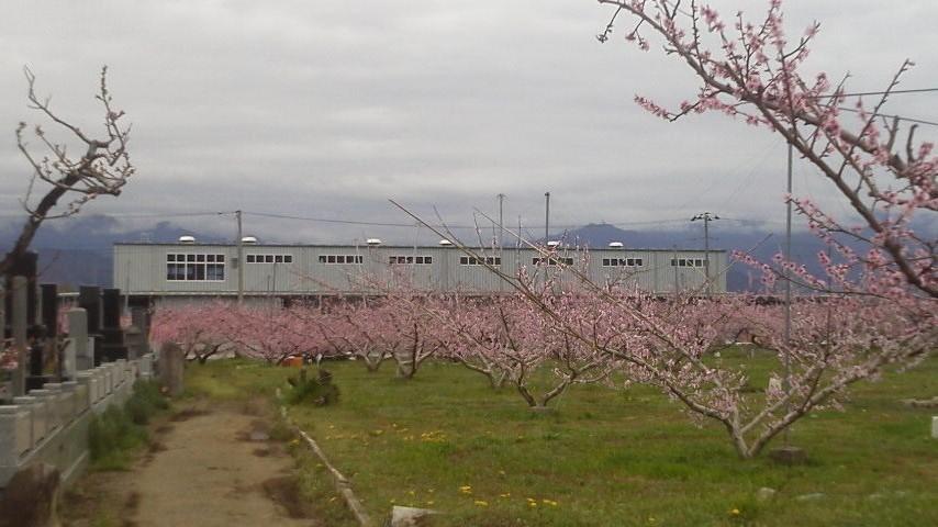 桃の生育状況です_f0325525_12211667.jpg
