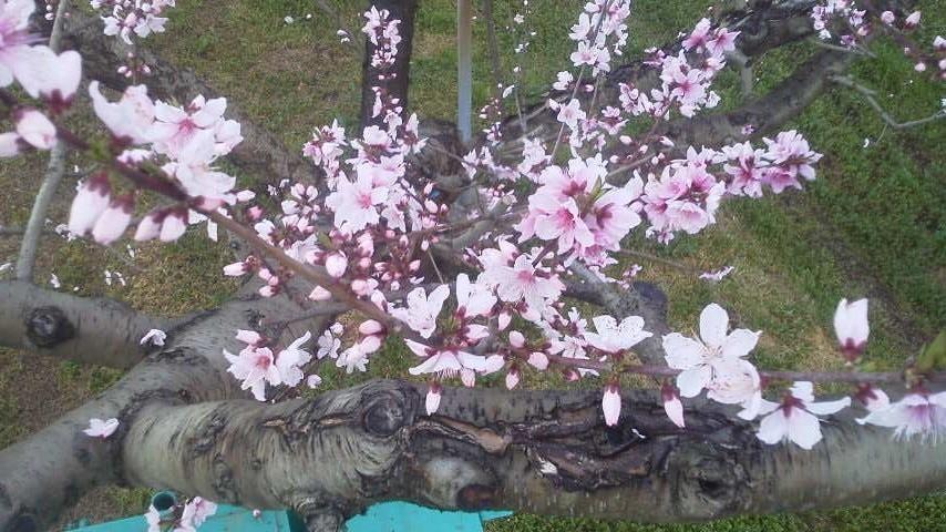 桃の生育状況です_f0325525_12212030.jpg