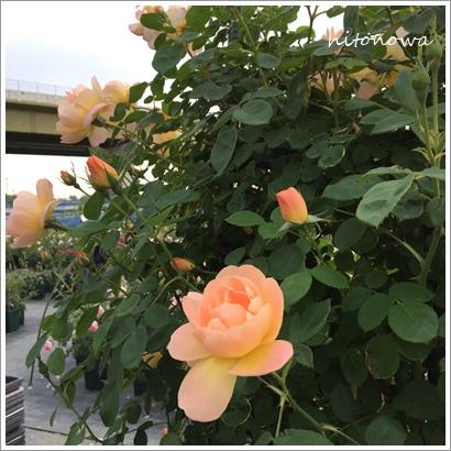 イングリッシュ ローズガーデン 美野里_f0256728_140487.jpg