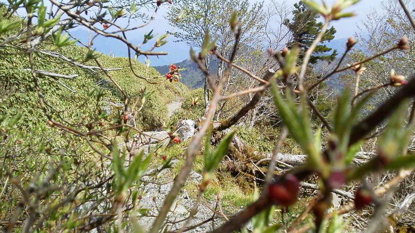 5月18日。コヨウラクツツジの赤い花がチラット見え始めています。_c0089831_513336.jpg