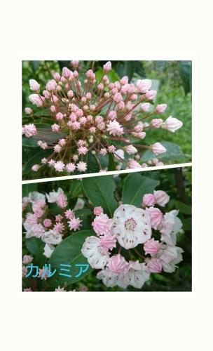 菖蒲_b0328361_21400915.jpg