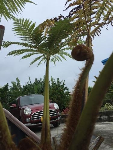 My Flying Spider-monkey Tree Fem._c0153966_15274486.jpeg