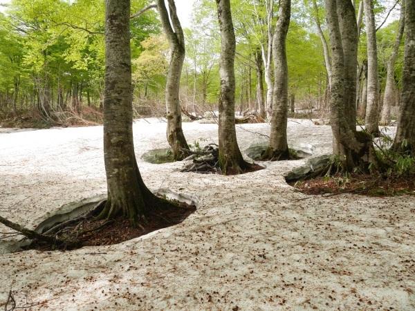 残雪とブナ林(山形県立自然博物園)_a0351368_23112491.jpg