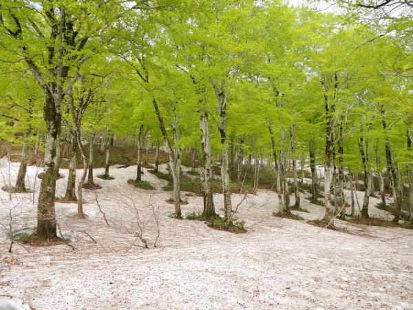 残雪とブナ林(山形県立自然博物園)_a0351368_23151350.jpg