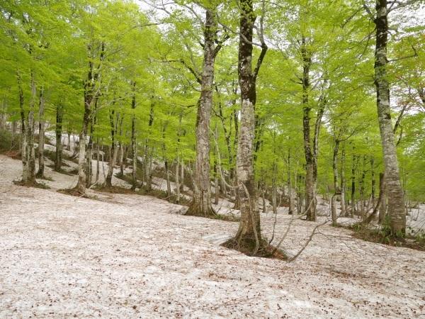 残雪とブナ林(山形県立自然博物園)_a0351368_23162927.jpg