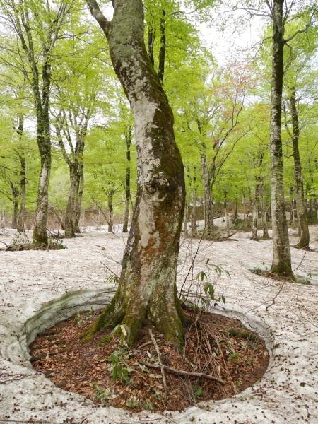 残雪とブナ林(山形県立自然博物園)_a0351368_23164821.jpg