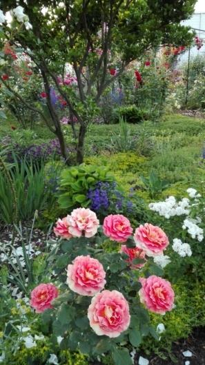 バラを引き立てる下草と宿根草_e0356469_05531550.jpg