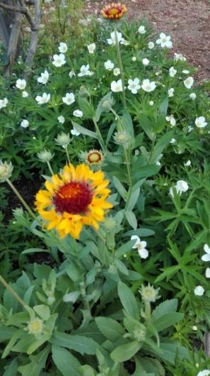 バラを引き立てる下草と宿根草_e0356469_05532039.jpg