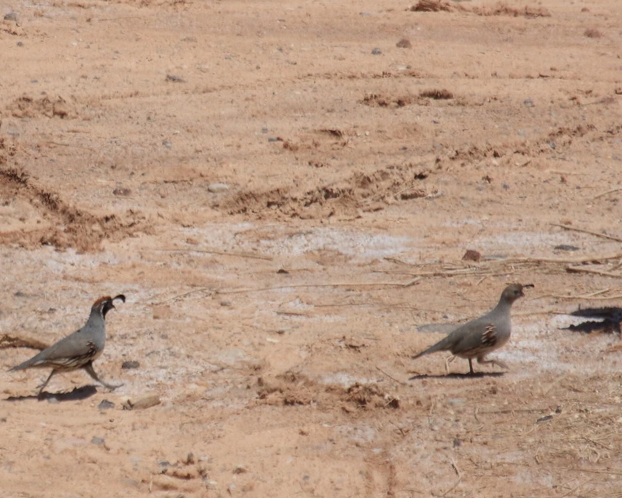 ネヴァダ州の鳥その7: ウズラの仲間_f0105570_2131517.jpg
