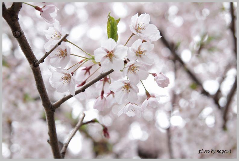 名残りの桜_e0166395_16225813.jpg