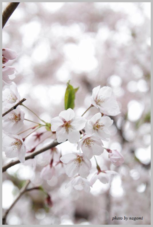 名残りの桜_e0166395_1623164.jpg