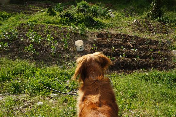 夏野菜の苗を植えました_f0106597_05193556.jpg