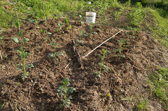 夏野菜の苗を植えました_f0106597_05260170.jpg