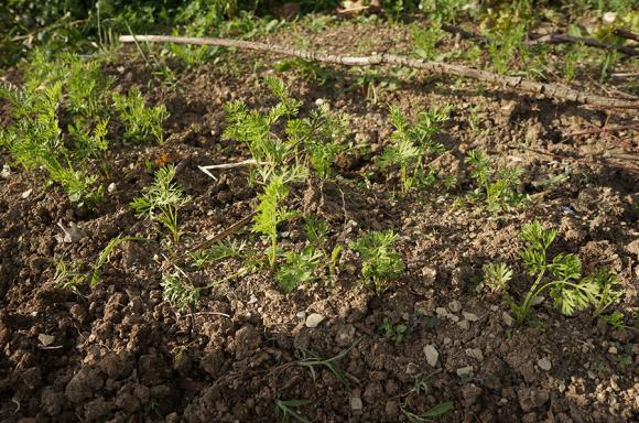 夏野菜の苗を植えました_f0106597_05274746.jpg