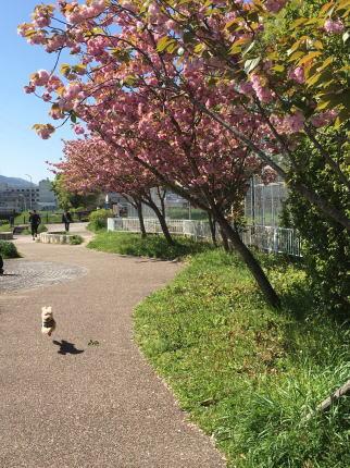 八重桜の下で食べたお弁当_b0072115_95325100.jpg