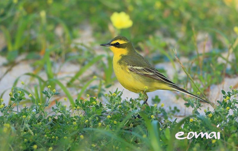 見島の野鳥 2016_d0074828_21532366.jpg