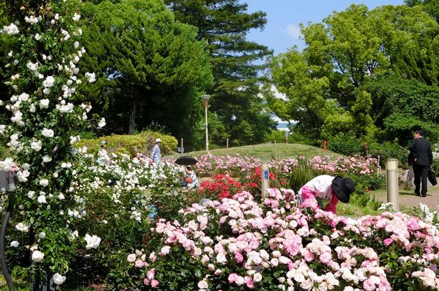藤田八束のガーデニング写真@大阪市靭公園のバラは見頃、美しいバラの園_d0181492_21363994.jpg