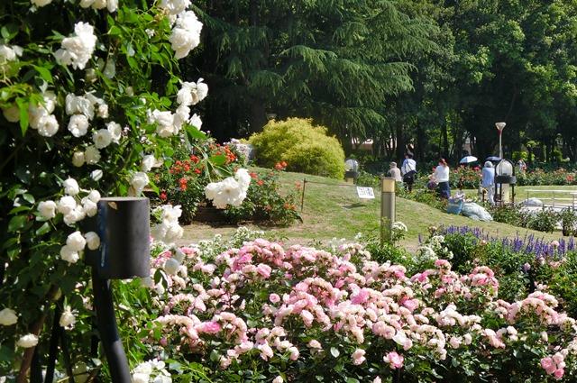 藤田八束のガーデニング写真@大阪市靭公園のバラは見頃、美しいバラの園_d0181492_21365199.jpg