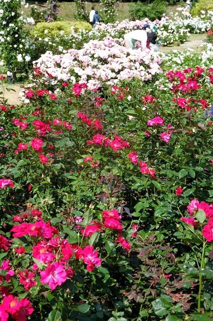 藤田八束のガーデニング写真@大阪市靭公園のバラは見頃、美しいバラの園_d0181492_2136974.jpg
