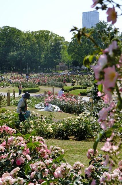 藤田八束のガーデニング写真@大阪市靭公園のバラは見頃、美しいバラの園_d0181492_2137275.jpg