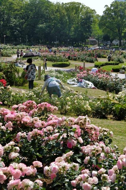 藤田八束のガーデニング写真@大阪市靭公園のバラは見頃、美しいバラの園_d0181492_2137432.jpg