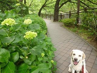 cool day  サージュと紫陽花の散歩道♪_a0165160_15525079.jpg