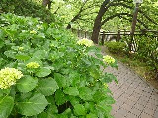 cool day  サージュと紫陽花の散歩道♪_a0165160_15590162.jpg