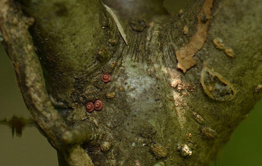 ウラゴマダラシジミの蛹(2016年5月21日) _d0303129_2305892.jpg