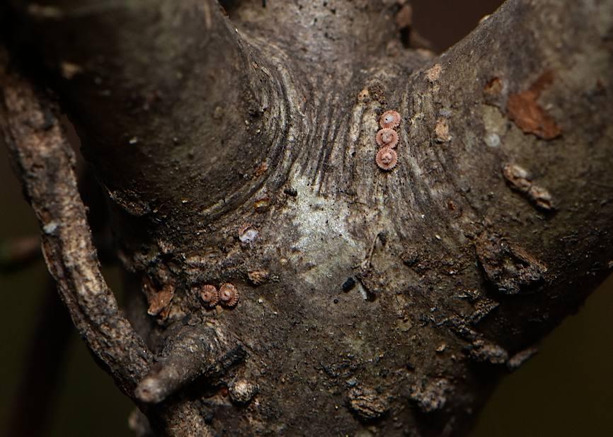 ウラゴマダラシジミの蛹(2016年5月21日) _d0303129_231731.jpg
