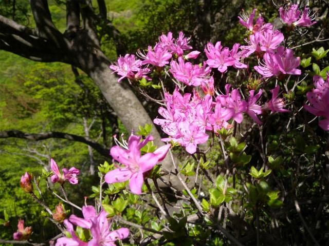 平治岳&北大船山&大船山! ミヤマキリシマは一分咲き!_e0272335_21122698.jpg