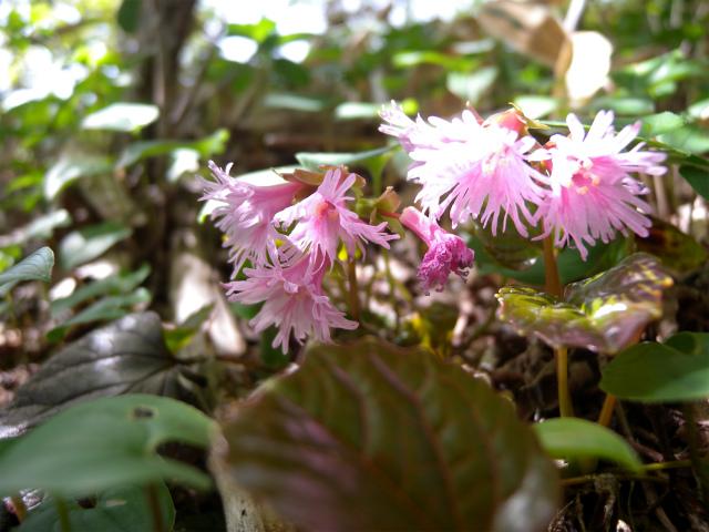 平治岳&北大船山&大船山! ミヤマキリシマは一分咲き!_e0272335_2115494.jpg