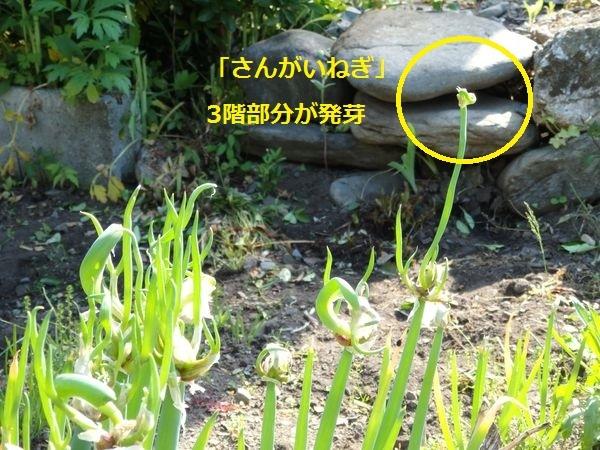 私のまめつぶ自給農園2016 Vol.5シガワリとさんがいねぎ_b0206037_11311594.jpg