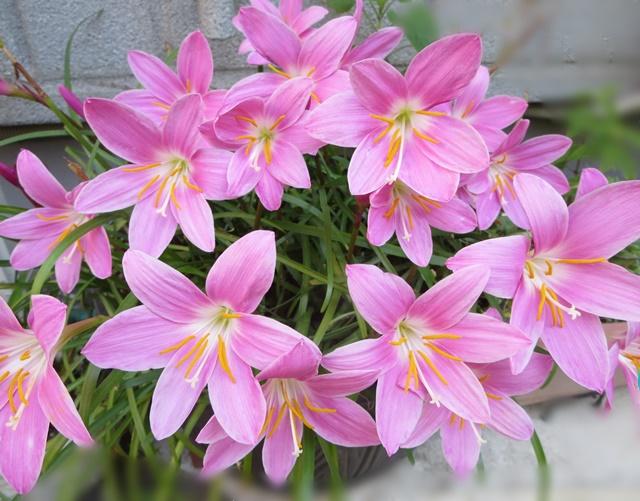【ゼフィランサスの花咲く美しき5月】_b0009849_20344231.jpg